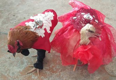 Cabatuan holds beauty pageant for chickens